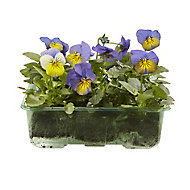 9 cell Viola Mixed Spring Bedding plant, Pack of 4