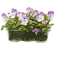 9 cell Viola Pink wing Spring Bedding plant, Pack of 4