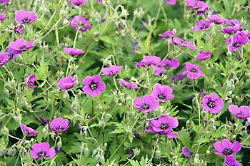 purple hardy geraniums