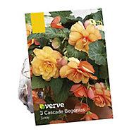 Begonia cascade Sunray Flower bulb