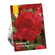 Begonia double red Flower bulb
