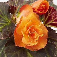 Begonia Non Stop Summer Bedding plant, 10.5cm Pot, Pack of 6