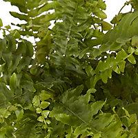 Boston fern in 12cm Pot