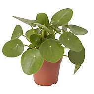 Chinese money plant in 12cm Pot