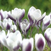Crocus bulbs