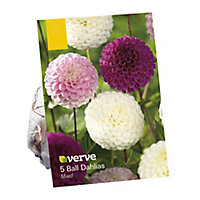 Dahlia ball-type mixed Flower bulb