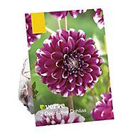 Dahlia decorative Edinburgh Flower bulb