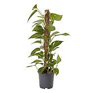 Devils ivy in 19cm Pot