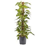 Devils ivy in 24cm Pot