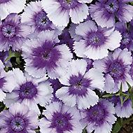 Dianthus Assorted Autumn Bedding plant 10.5cm, Pack of 6