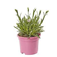 Dianthus Pink Kisses Summer Bedding plant, 10.5cm Pot, Pack of 6