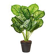 Dieffenbachia Decorative plant
