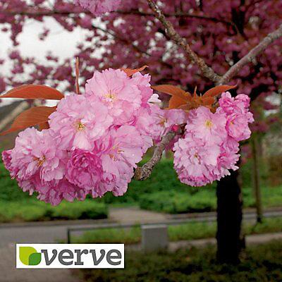 Flowering Cherry Ornamental Tree Diy At B Q