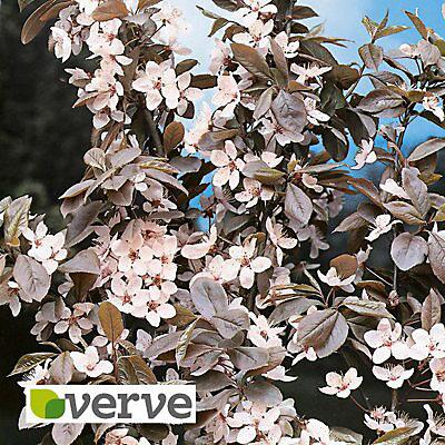 Flowering Plum Ornamental Tree Diy At B Q