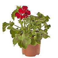 Geranium Calliope Dark Red Summer Bedding plant, 13cm Pot, Pack of 4