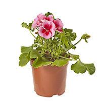 Geranium Calliope Rose Splash Summer Bedding plant, 13cm Pot, Pack of 4
