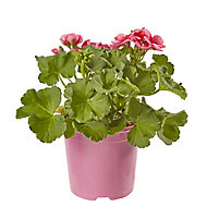 Geranium Pretty Little Summer Bedding plant, 13cm Pot, Pack of 4