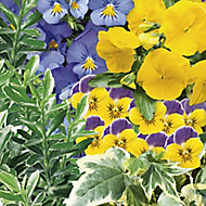 Hanging basket Blue & yellow Autumn Bedding plant 10.5cm, Pack of 6