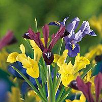 Iris bulbs