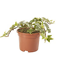 Ivy Silver Summer Bedding plant, 10.5cm Pot, Pack of 6