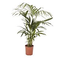 Kentia palm in 19cm Pot