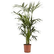 Kentia palm in 24cm Pot