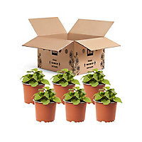 Lobelia Trailing White Summer Bedding plant, 10.5cm Pot, Pack of 6