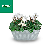 Cyclamen planter in Tin