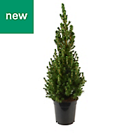 4ft 9in Spruce Pot grown Christmas tree