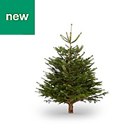 4ft Nordmann fir Cut christmas tree