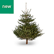 5ft Nordmann fir Cut christmas tree