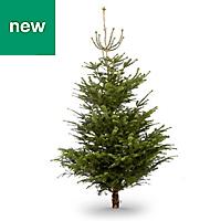 8ft Nordmann fir Cut christmas tree