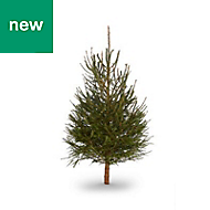 4ft Norway spruce Cut christmas tree