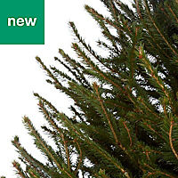 5ft Norway spruce Cut christmas tree
