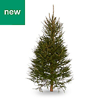 6ft 6in Norway spruce Cut christmas tree