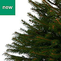 2ft 6in Norway spruce Pot grown Christmas tree