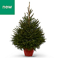 4ft Norway spruce Pot grown Christmas tree