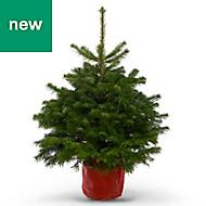 2ft 6in Nordmann fir Pot grown Christmas tree