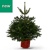 4ft Nordmann fir Pot grown Christmas tree
