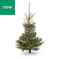 6ft Blue spruce Cut christmas tree
