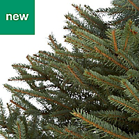 6ft Blue spruce Cut christmas tree