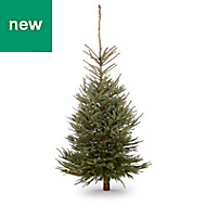 6.5ft Blue spruce Cut christmas tree