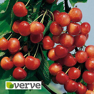 Napolean Berry Fruit Tree Diy At B Q