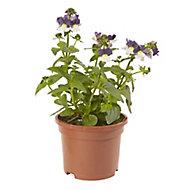 Nemesia Summer Bedding plant, 10.5cm Pot, Pack of 6