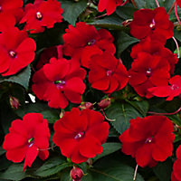 New Guinea Impatiens Red Summer Bedding plant, 13cm Pot, Pack of 4