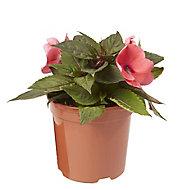 New Guinea Impatiens Sunpatiens Summer Bedding plant, 13cm Pot, Pack of 4