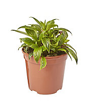 New Guinea Impatiens Trailing Summer Bedding plant, 13cm Pot, Pack of 4