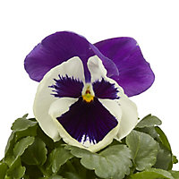 Pansy Mixed Spring Bedding plant, 10.5cm Pot, Pack of 6