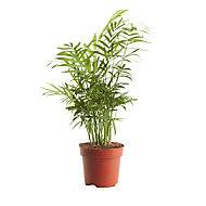 Parlour palm in 12cm Pot