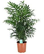 Parlour palm in 19cm Pot